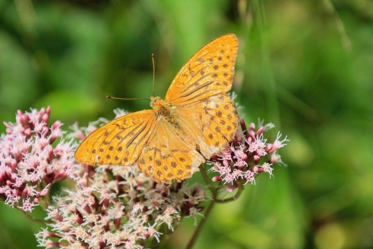 butterfly, flower, pollinate-6562522.jpg